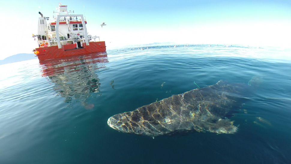 Record de longévité pour le requin du Groenland avec plus de 400 ans